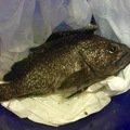 anpan fishさんの青森県でのキツネメバルの釣果写真