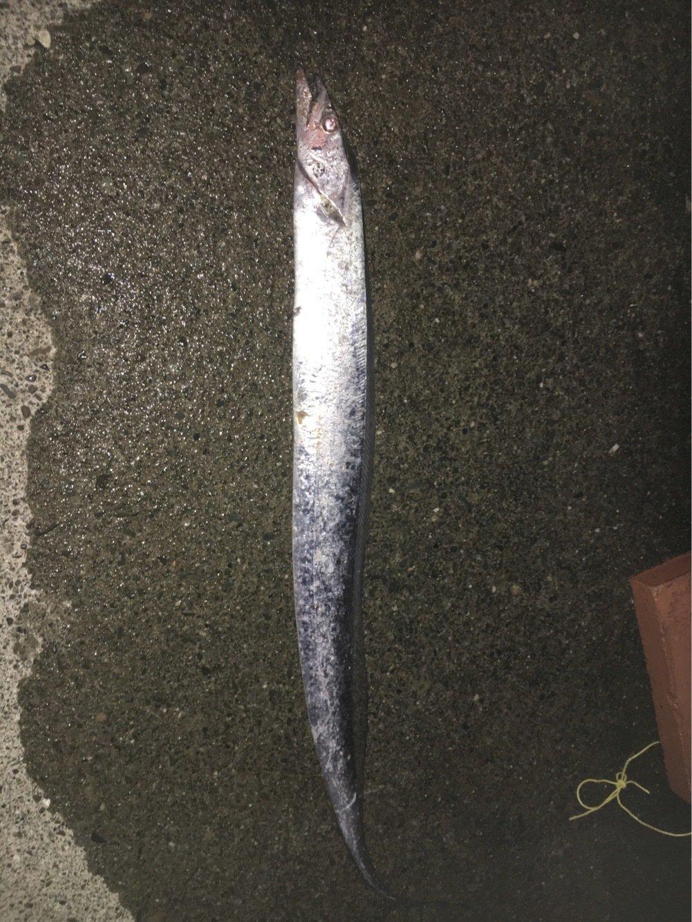 ヒロッシーさんの投稿画像,写っている魚はタチウオ