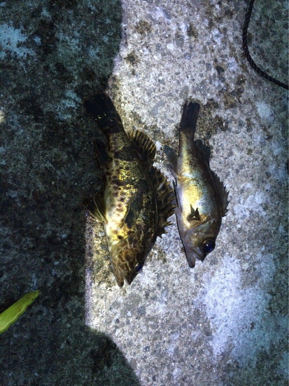 twtwtwさんの投稿画像,写っている魚はメバル