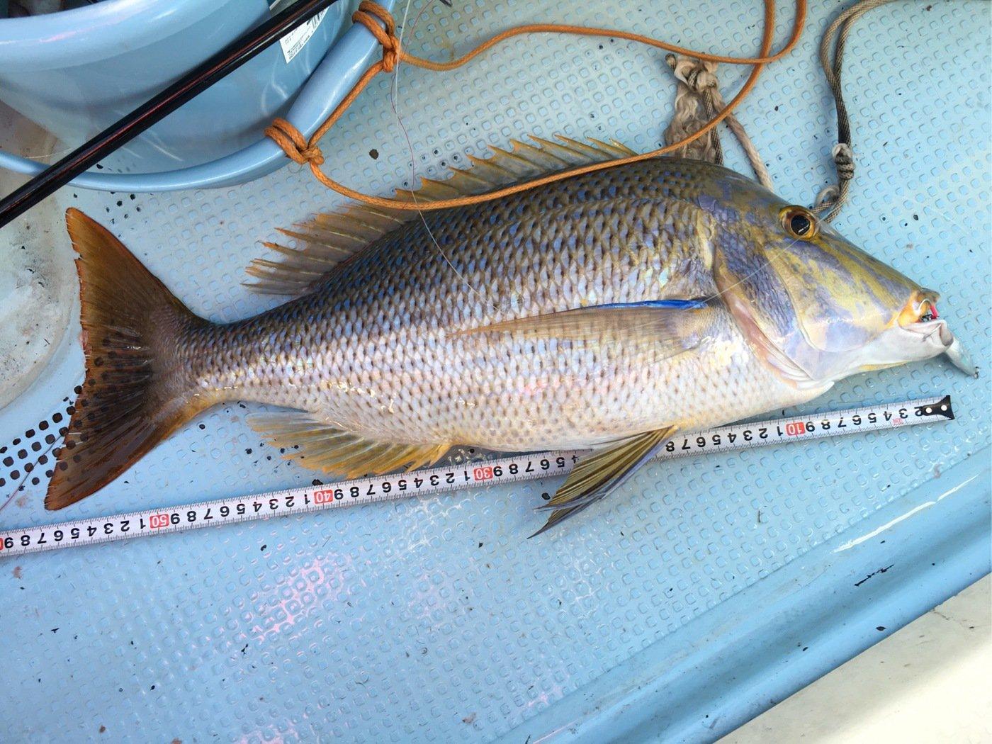 yoshiさんの投稿画像,写っている魚はハマフエフキダイ