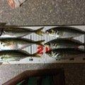 マサチュルさんの福岡県大牟田市でのアジの釣果写真