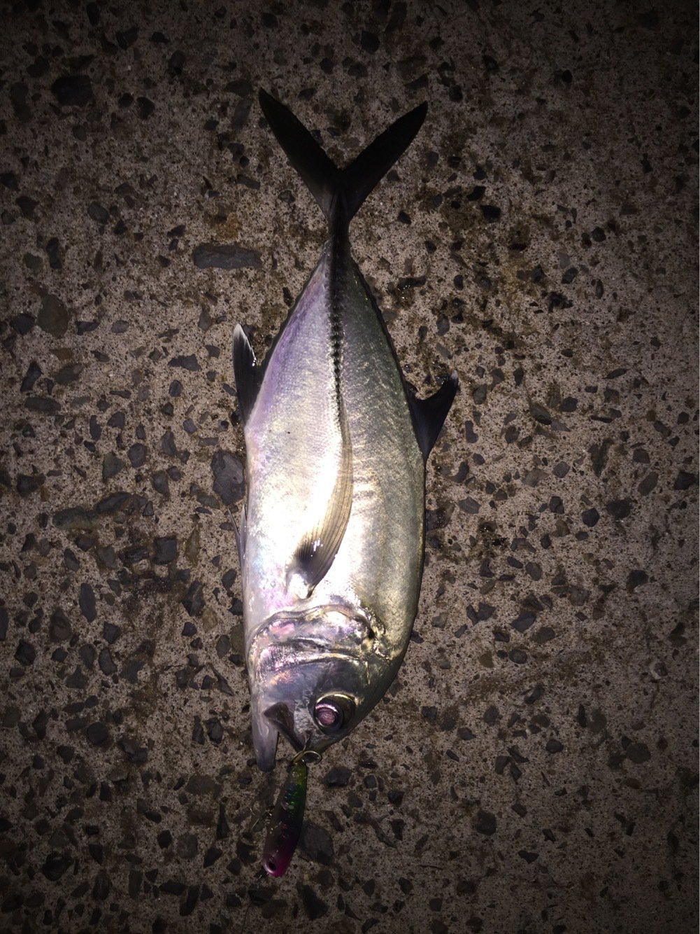 チーターさんさんの投稿画像,写っている魚はギンガメアジ