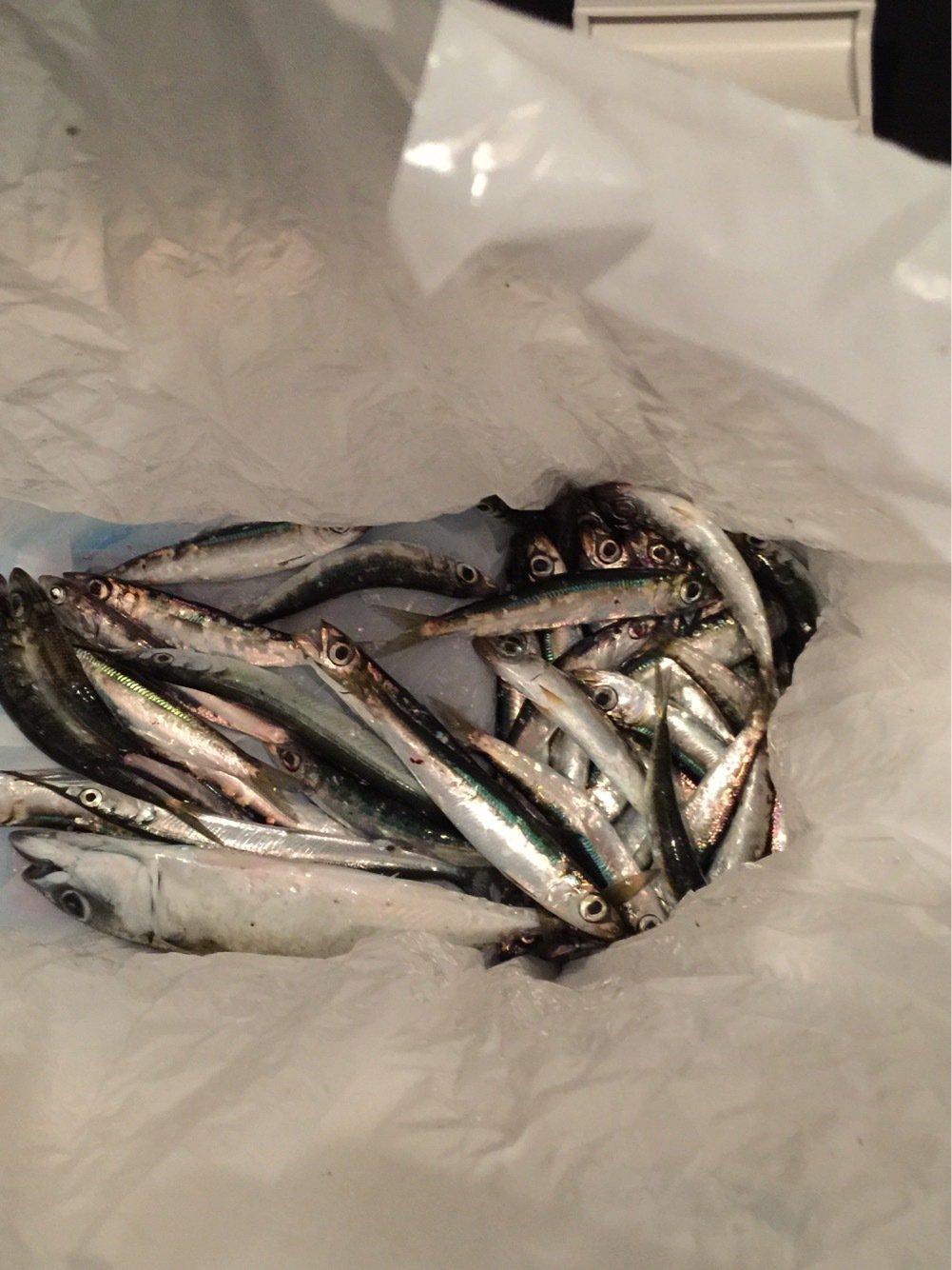trumpeterhiro さんの投稿画像,写っている魚はサヨリ