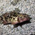 メバティスさんの神奈川県茅ヶ崎市でのカサゴの釣果写真