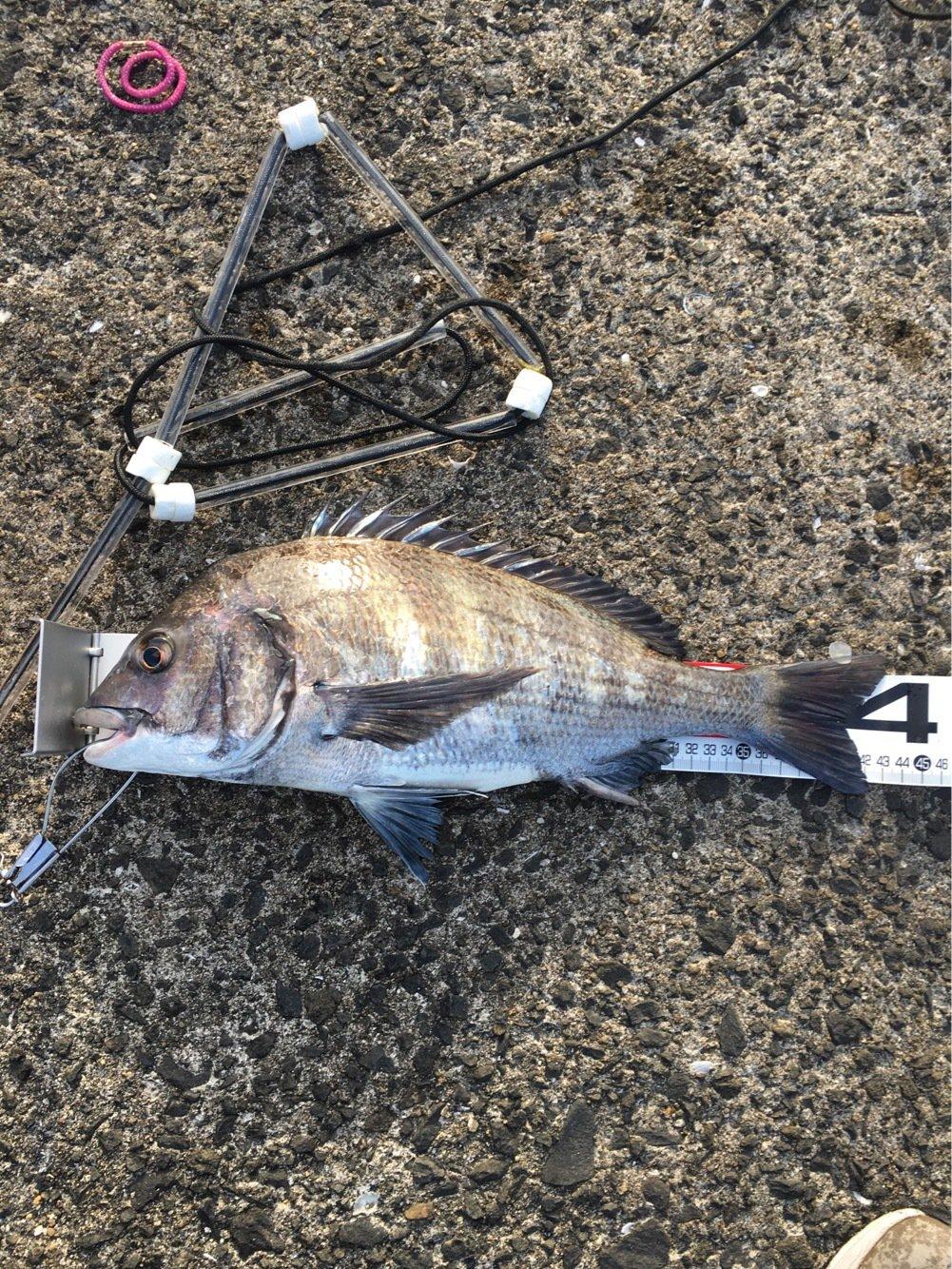 ひでさんの投稿画像,写っている魚はクロダイ