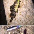 うずさんの兵庫県芦屋市でのメバルの釣果写真