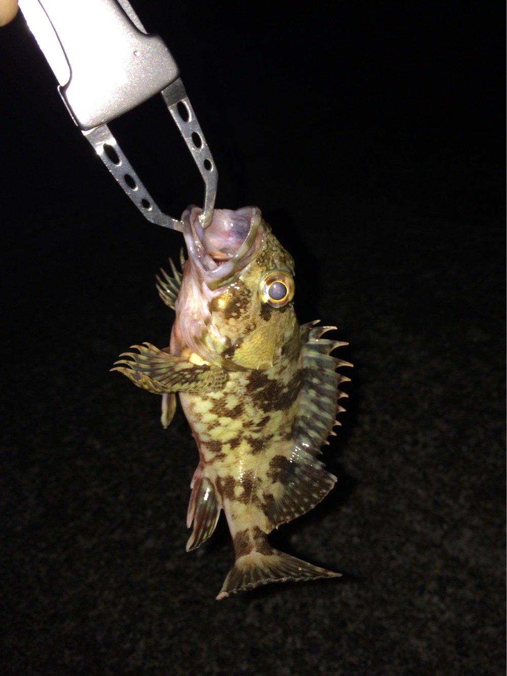よしさんの投稿画像,写っている魚はカサゴ