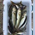 フジさんの千葉県君津市での釣果写真