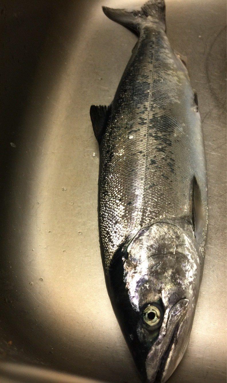 函館 Nさんの投稿画像,写っている魚はサクラマス