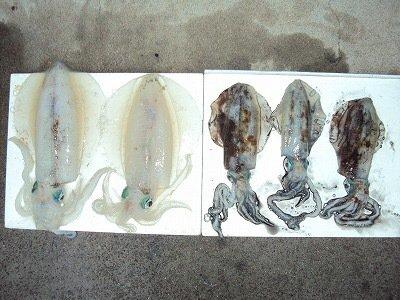 LaLaLaさんの投稿画像,写っている魚はアオリイカ
