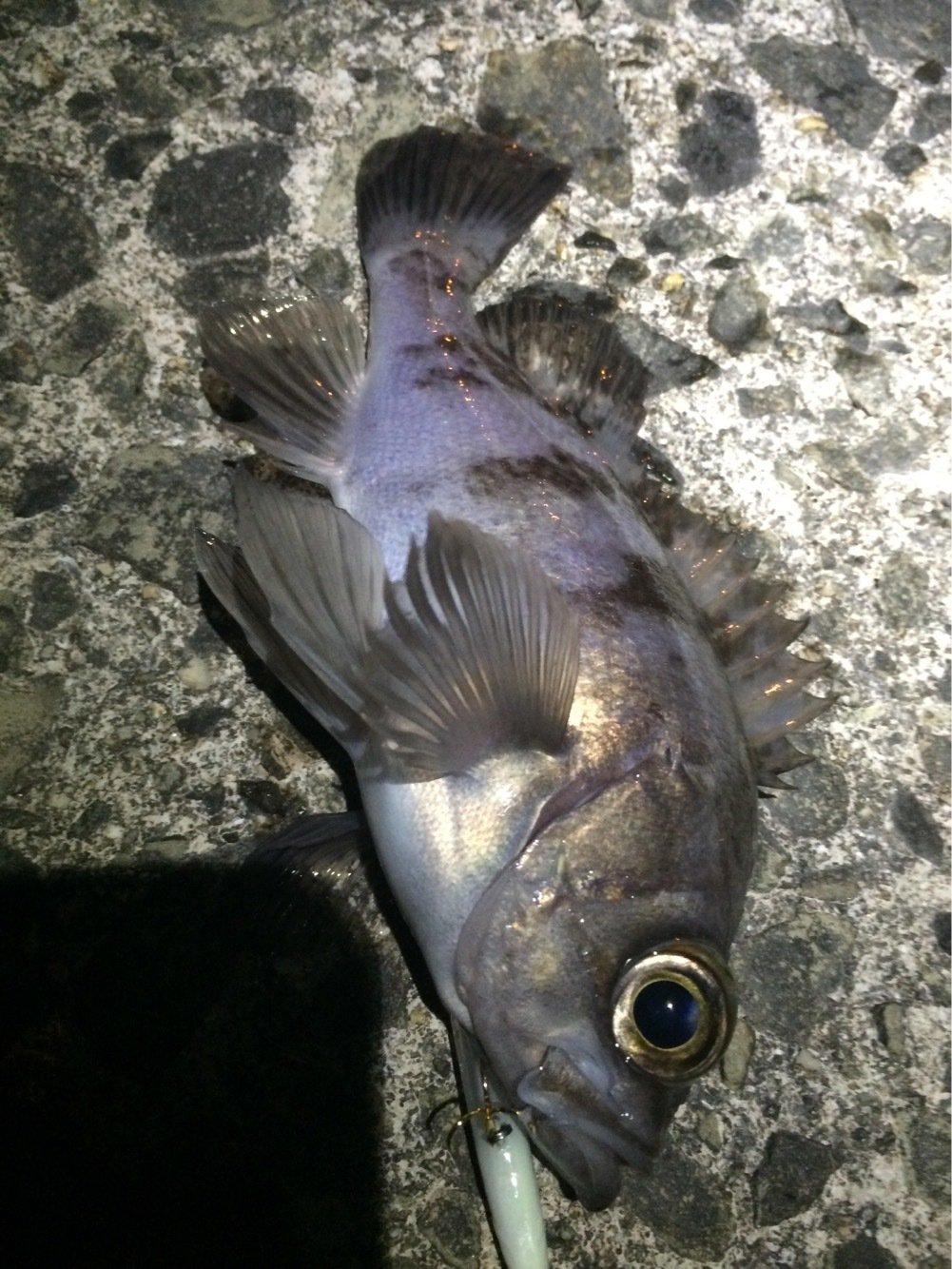 おっちょさんの投稿画像,写っている魚はシロメバル