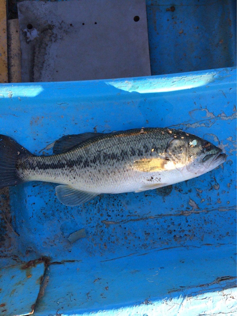 ちょすいさんの投稿画像,写っている魚はブラックバス
