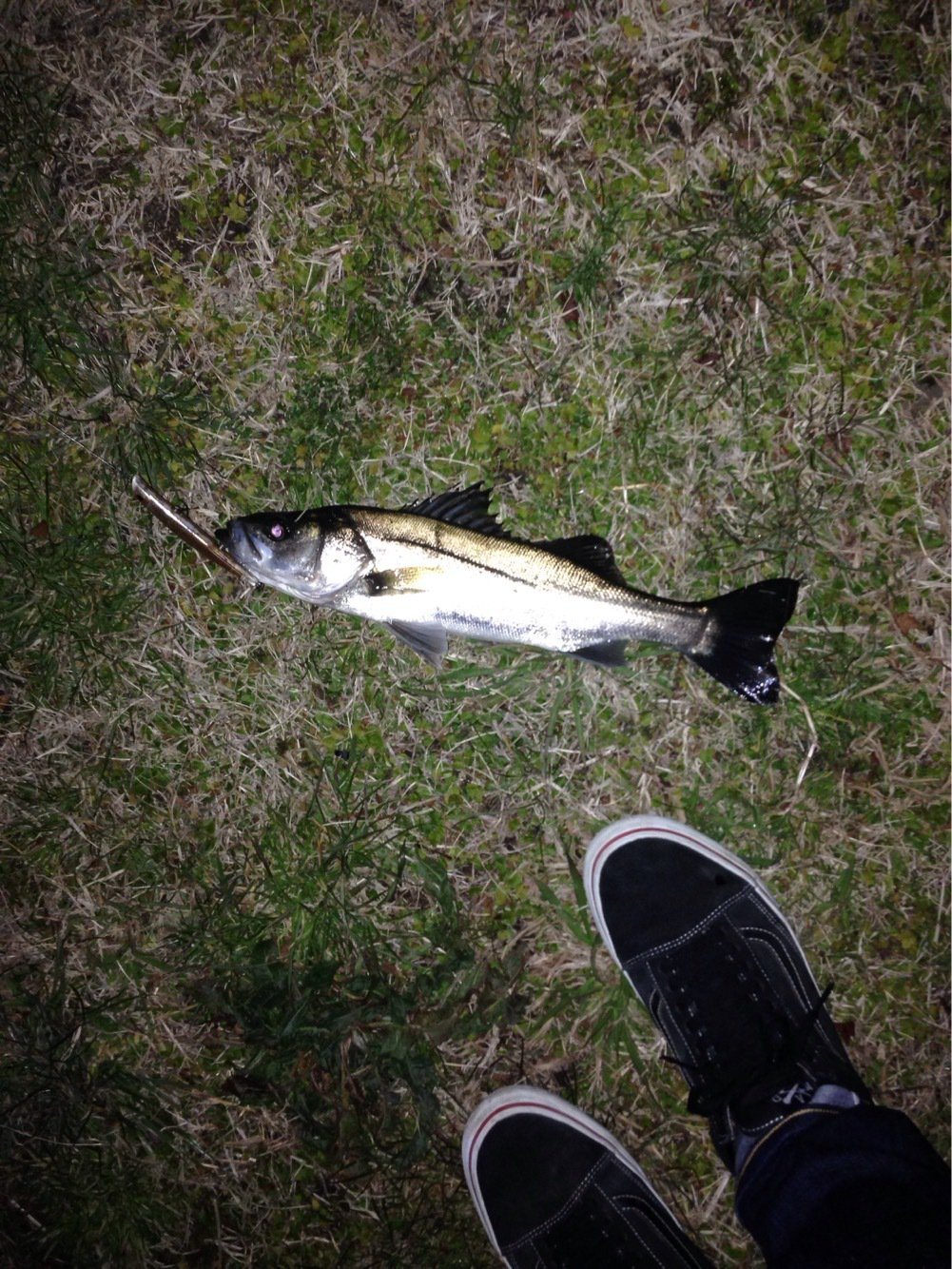 梅吉さんの投稿画像,写っている魚はスズキ