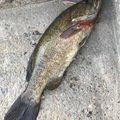 グランダー武蔵さんの埼玉県志木市での釣果写真