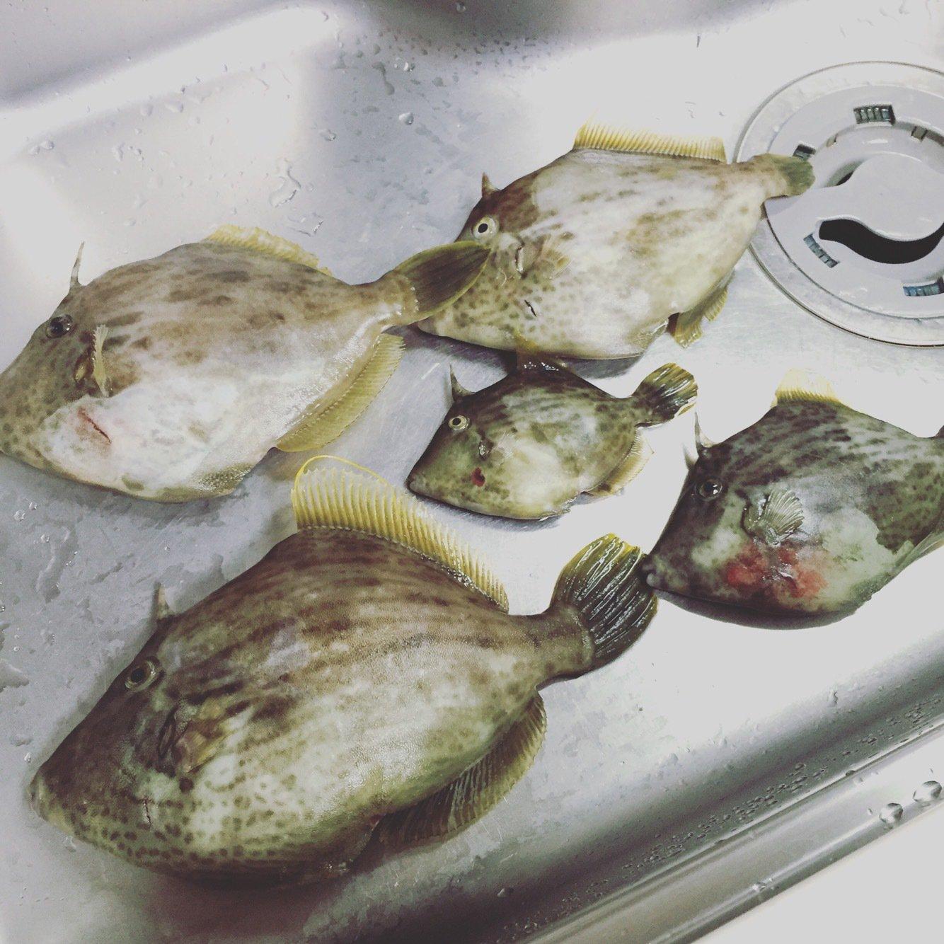 shun Todaさんの投稿画像,写っている魚はカワハギ