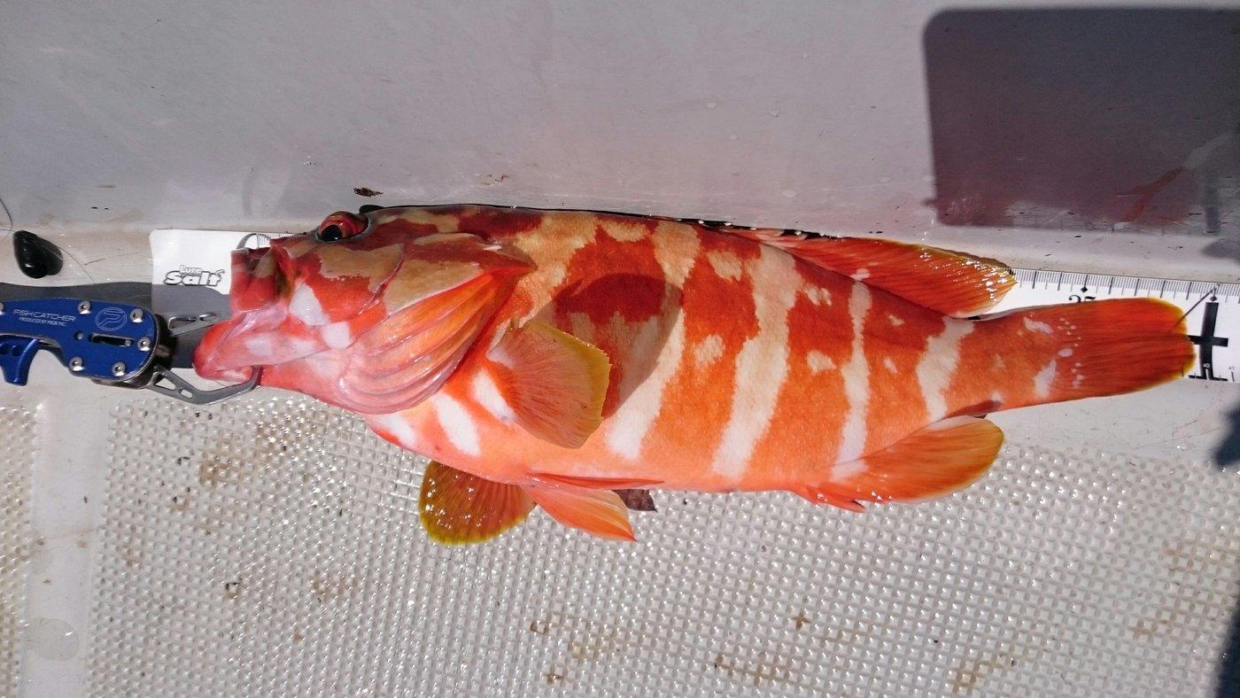 ほん☆だしさんの投稿画像,写っている魚はアカハタ