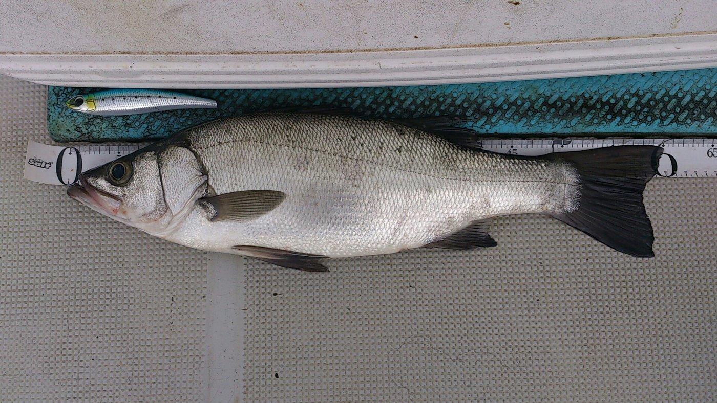 ほん☆だしさんの投稿画像,写っている魚はヒラスズキ