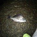 Nakamoto Kentaさんの愛知県知多市でのクロダイの釣果写真