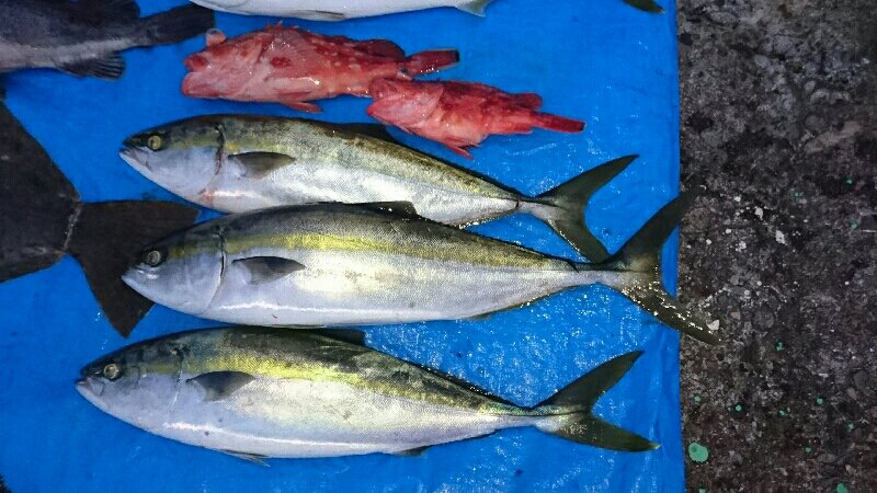 ツカサさんの投稿画像,写っている魚はワラサ