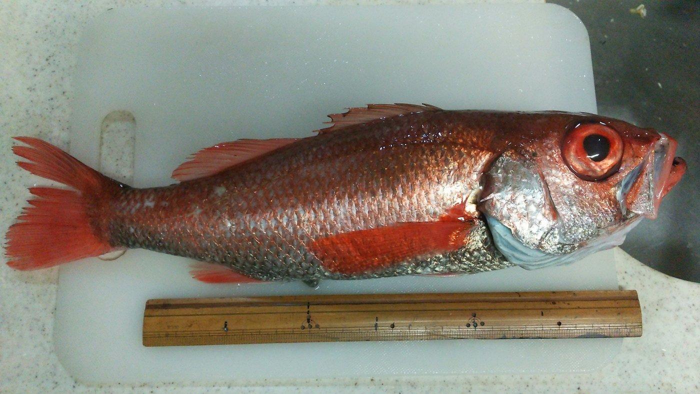 カズヒロさんの投稿画像,写っている魚はアカムツ