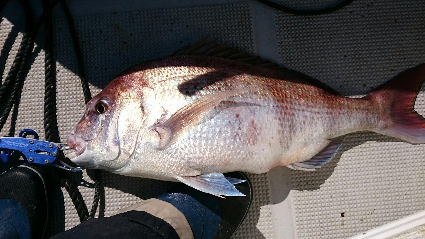 ほん☆だしさんの投稿画像,写っている魚はマダイ