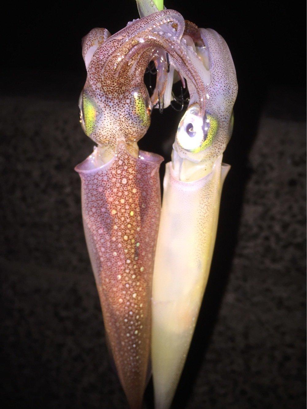BENさんの投稿画像,写っている魚はヤリイカ