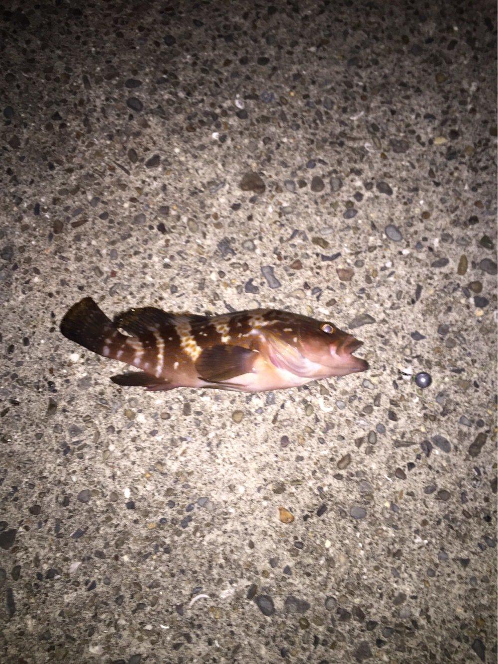 玉葱さんの投稿画像,写っている魚はマハタ