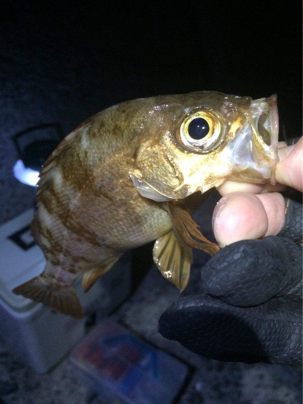 Masato Miyoshi さんの投稿画像,写っている魚はメバル