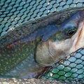 いっち~さんの北海道河東郡での釣果写真