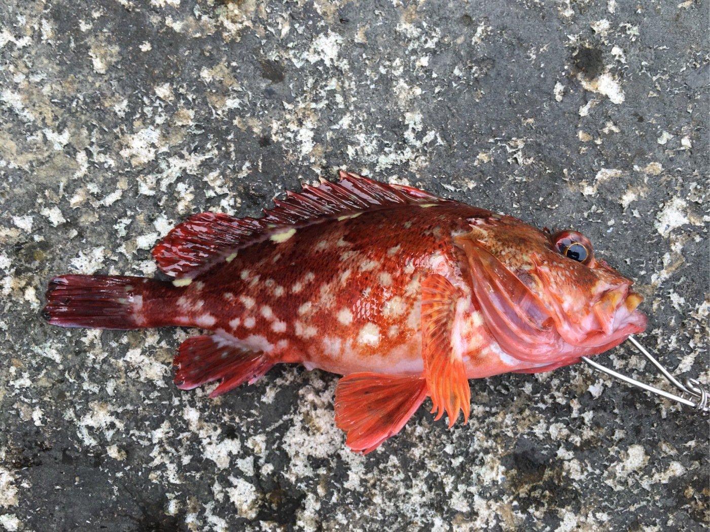 HIDEKIさんの投稿画像,写っている魚はカサゴ