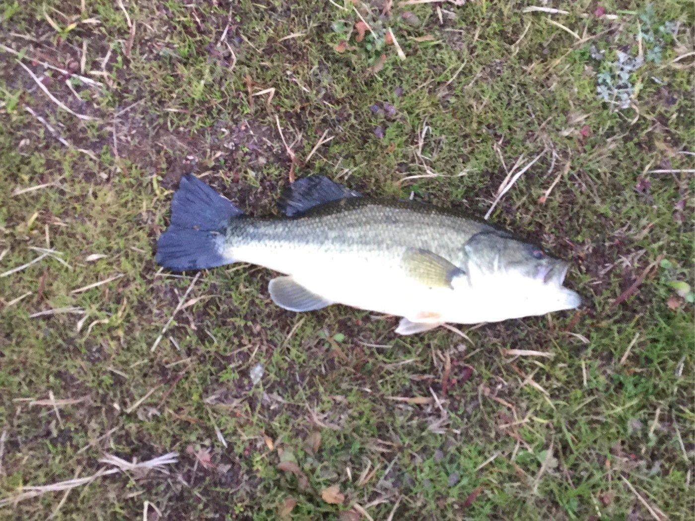 椋大さんの投稿画像,写っている魚は