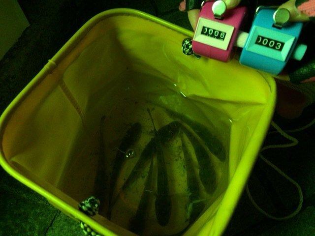 とらべるのーとさんの投稿画像,写っている魚はマハゼ