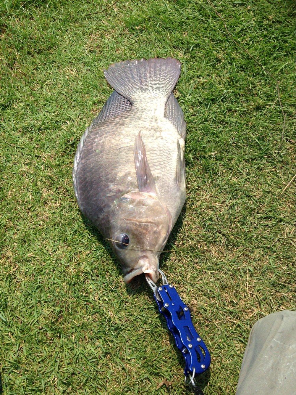 tomita@bkkさんの投稿画像,写っている魚はナマズ