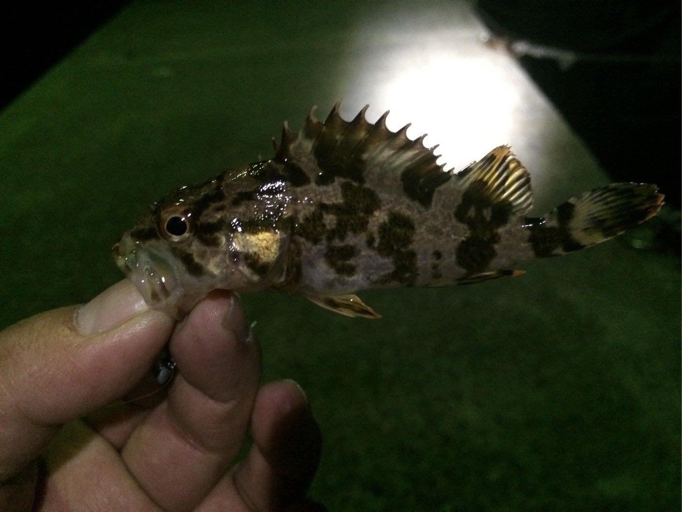 さいとうさんの投稿画像,写っている魚はタケノコメバル