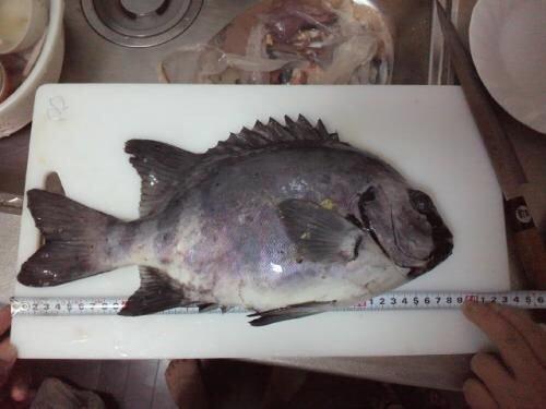 チンパパさんの投稿画像,写っている魚はイシダイ