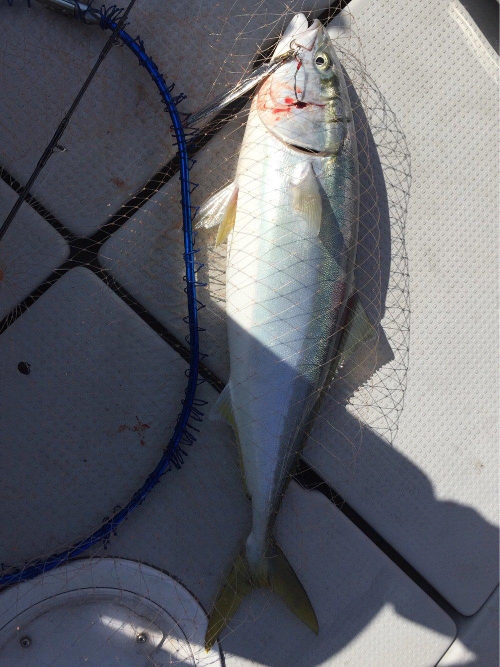 jerkman330さんの投稿画像,写っている魚はブリ
