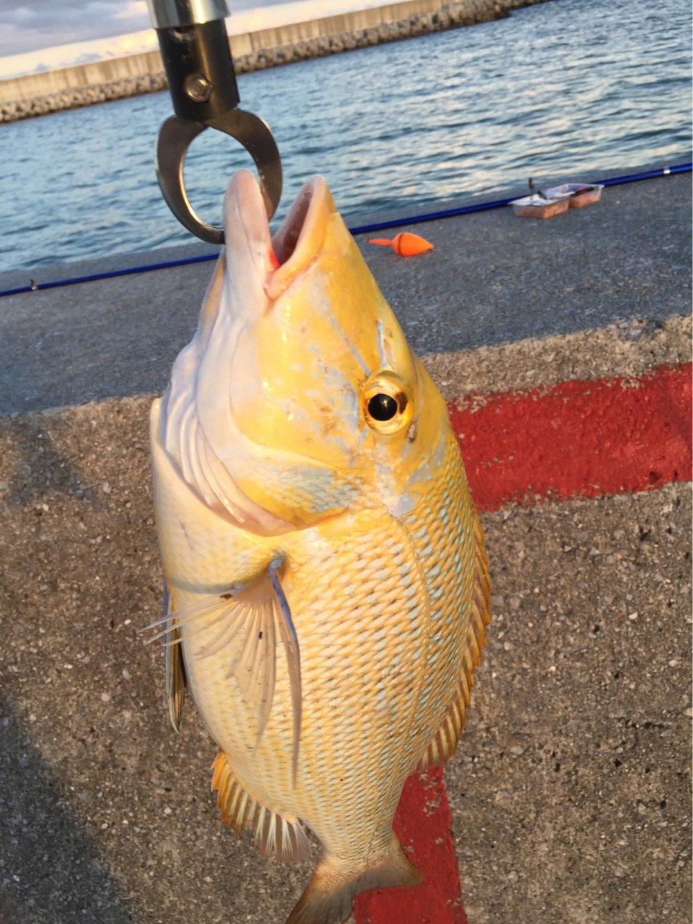山城和人さんの投稿画像,写っている魚はハマフエフキダイ