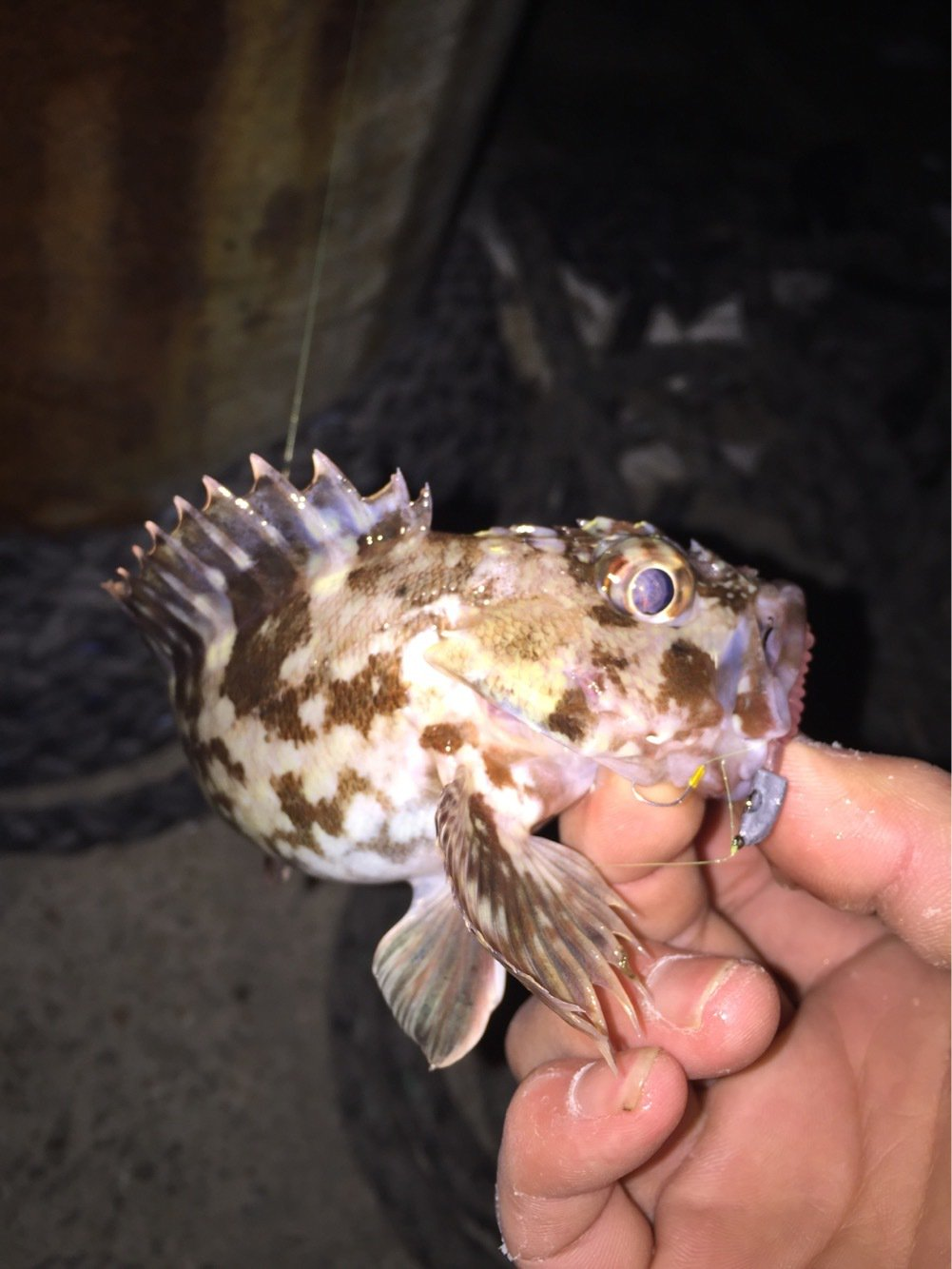 Rさんの投稿画像,写っている魚はカサゴ