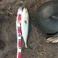 阪本さんさんの北海道磯谷郡での釣果写真