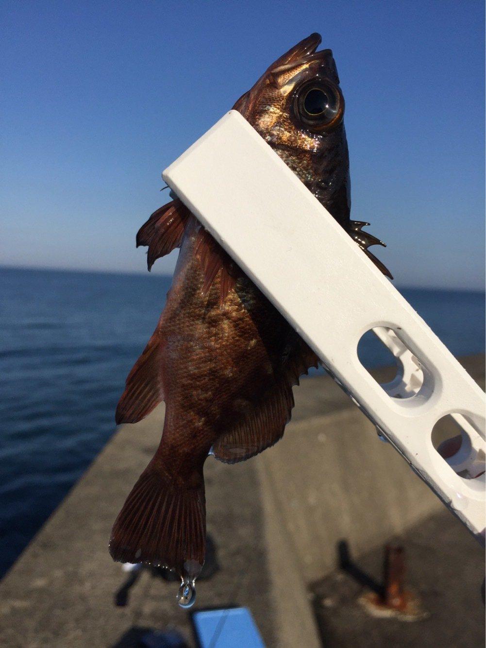 カズワタベさんの投稿画像,写っている魚はメバル