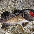 たーたんさんの北海道幌泉郡での釣果写真