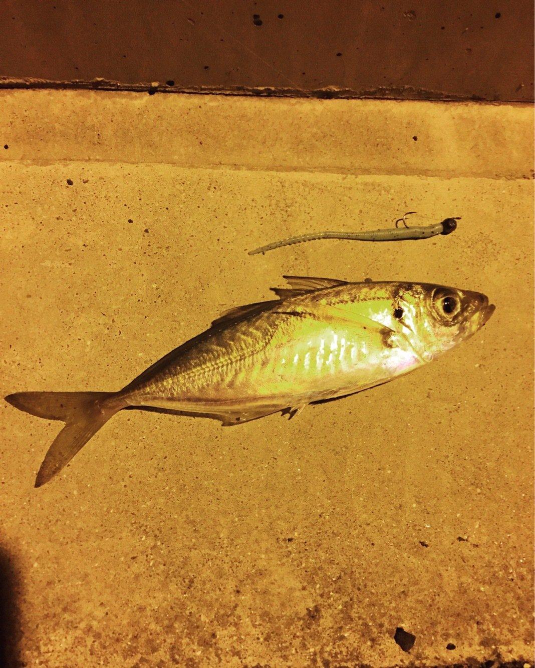 ジョンさんの投稿画像,写っている魚はアジ