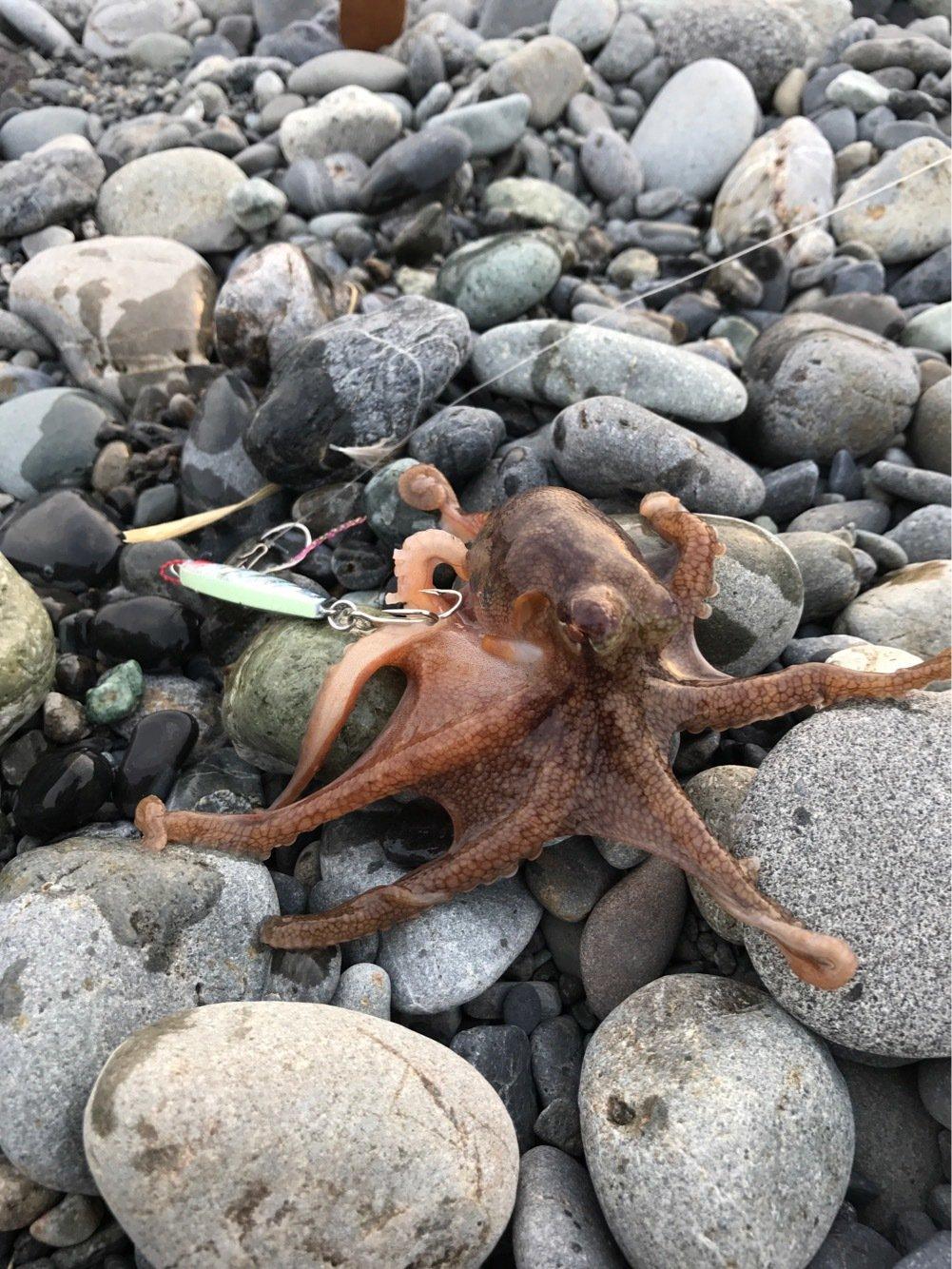 wakkunさんの投稿画像,写っている魚はマダコ