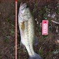 よずぼうやさんの新潟県見附市での釣果写真