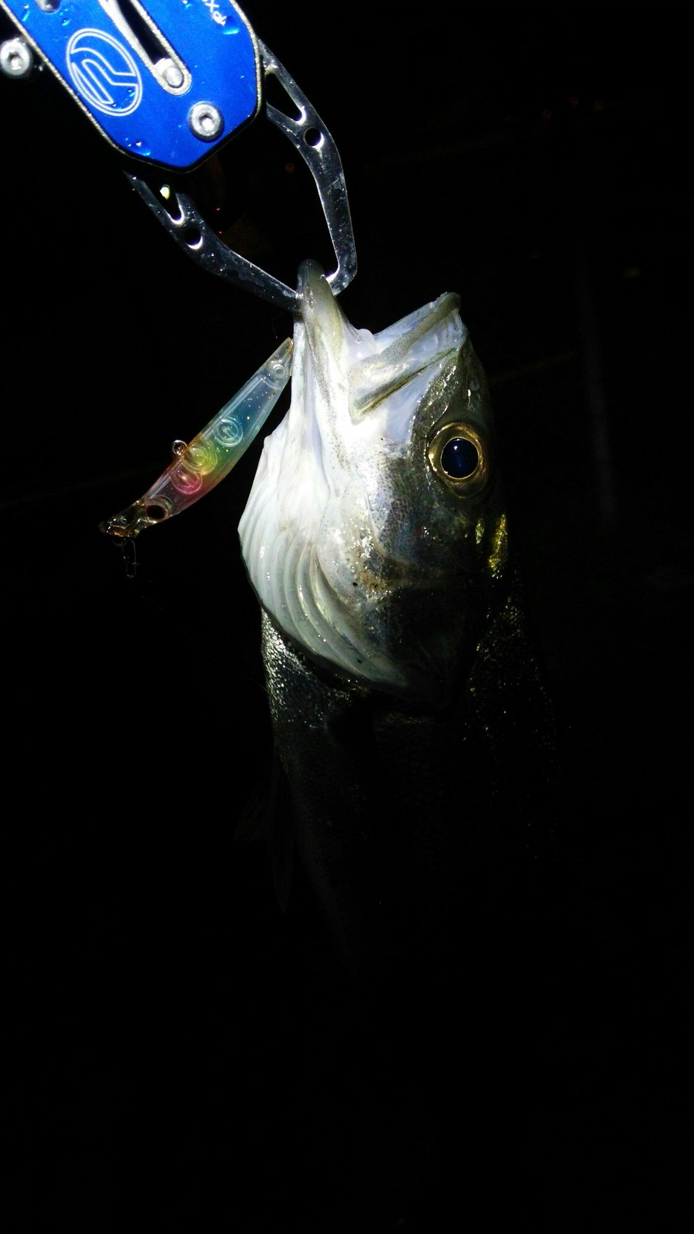 masa1205さんの投稿画像,写っている魚はスズキ