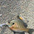 良二さんの福岡県でのブルーギルの釣果写真