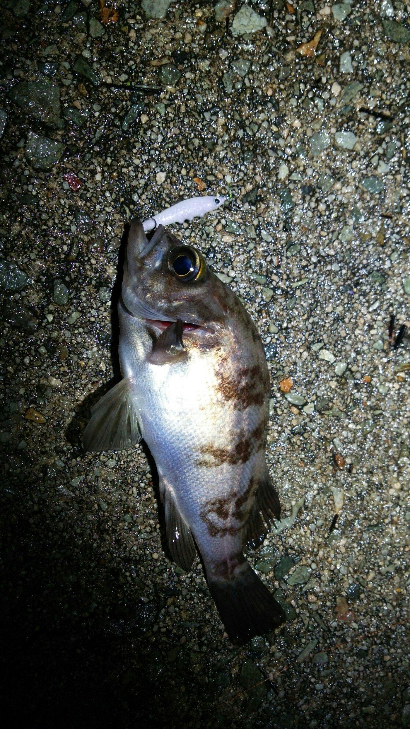 masa1205さんの投稿画像,写っている魚はアカメバル
