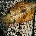 チープさんの長崎県北松浦郡でのアオリイカの釣果写真