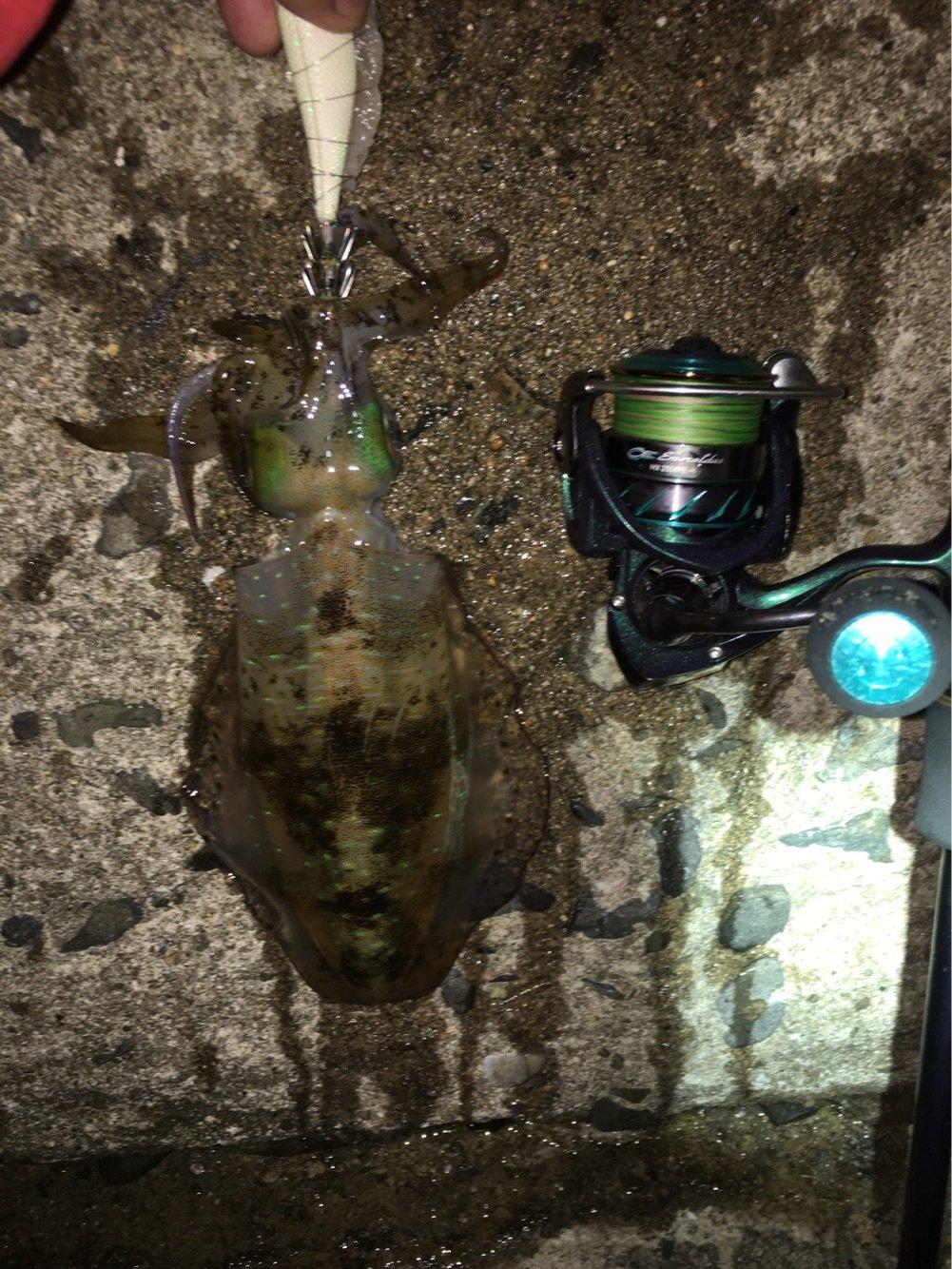 ゲンゴロウ(Team邪道)さんの投稿画像,写っている魚はアオリイカ