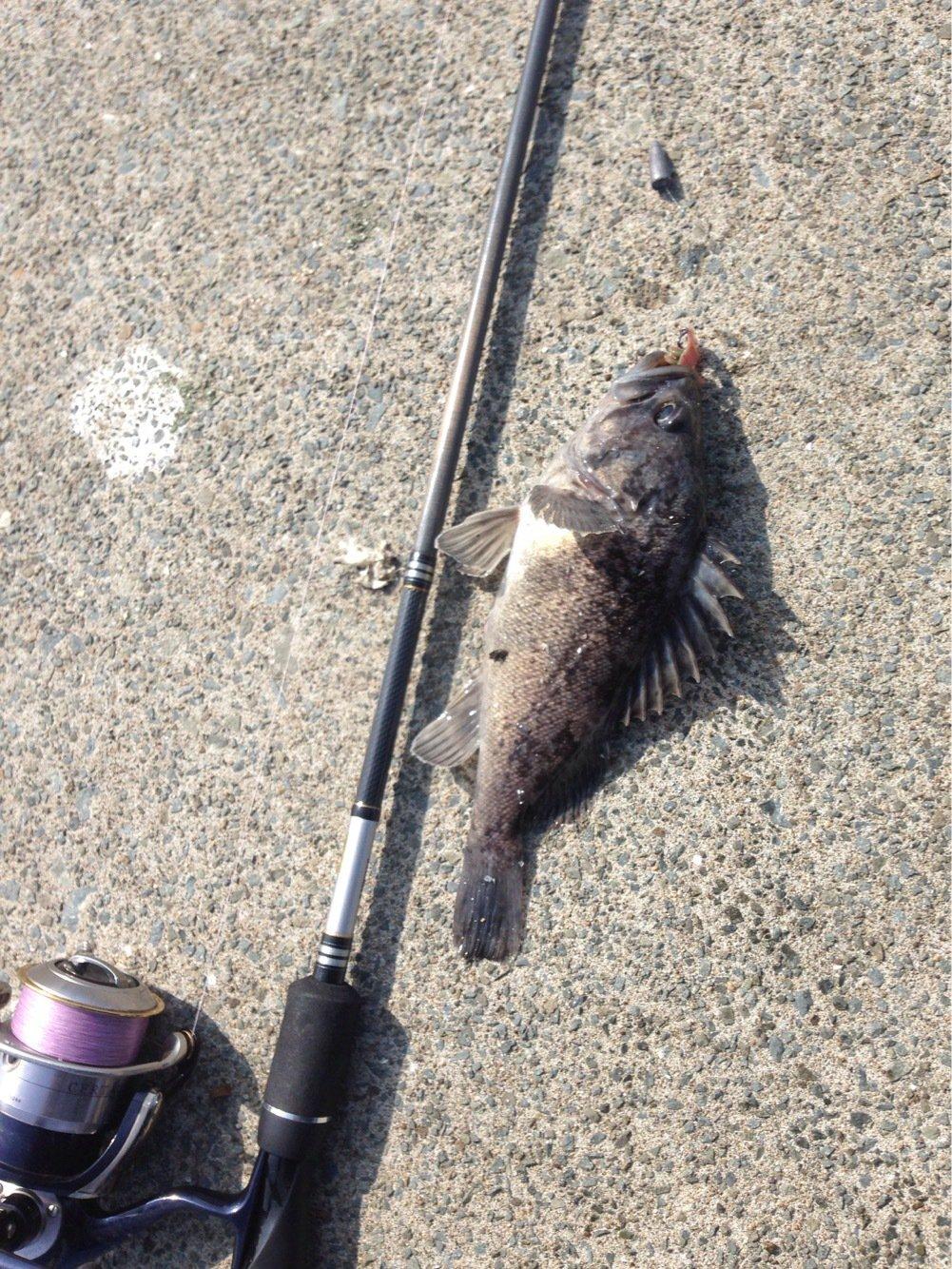 かめさんの投稿画像,写っている魚はクロソイ